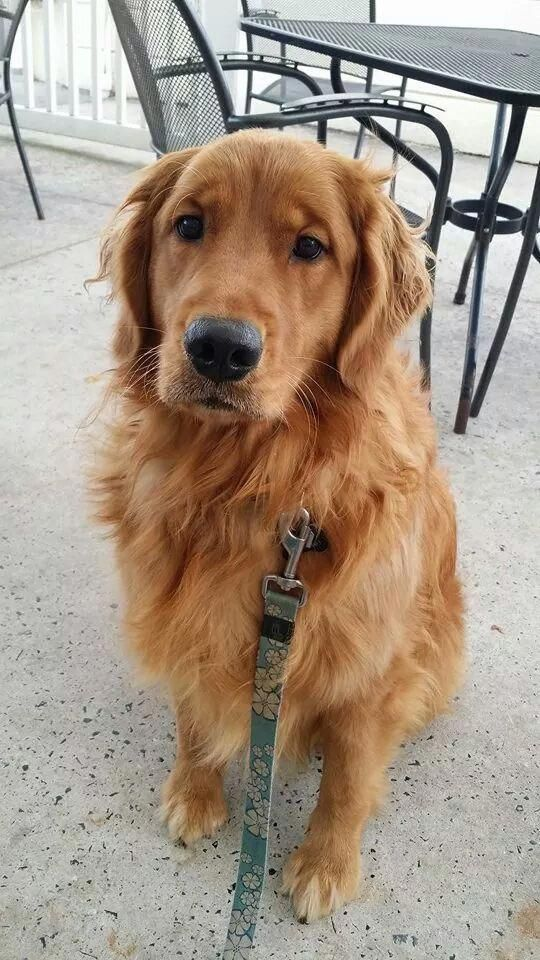 Our Golden Retriever Named Sadie Lunch At Rehoboth