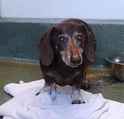 Pearland Tx Senior Dachshund Meet Snuff A Pet For Adoption