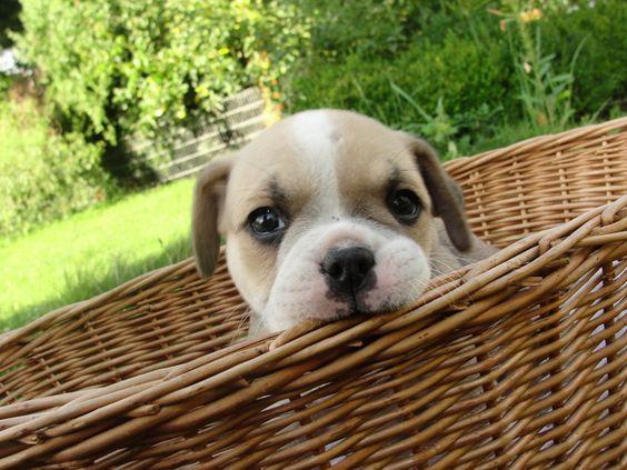 Neugieriger Englische Bulldogge Puggle Mix So Suss Deine