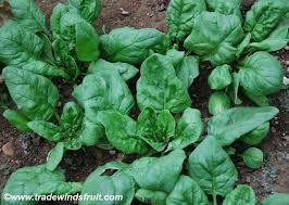 spinach monstrueux de viroflay