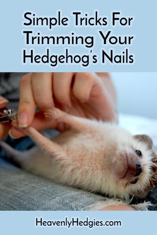 Hedgehog Grooming Hedgehog Cage Hedgehog Care Albino Hedgehog