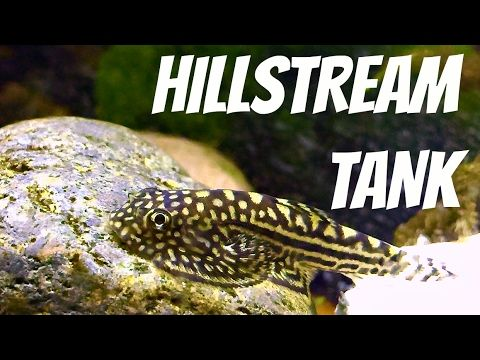 Subtropical Hillstream Tank Hillstream Loaches Panda Garra White Clo Garra Tank Panda