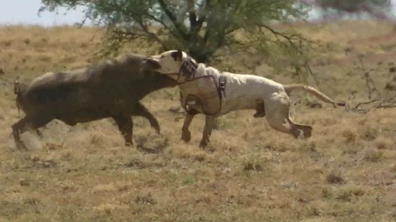 Can Hyenas Cross Breed With Dogs