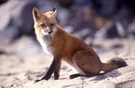Red fox - Google Search