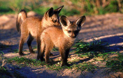 Google Image Result for http://www.kwamotlhose.co.za/bat-eared-fox-02.jpg