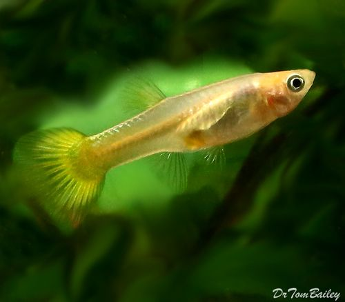 Premium Fancy Female Gold Cobra Guppy 1 To 1 2 Long Goldfish For Sale Pet Fish Aquarium Fish
