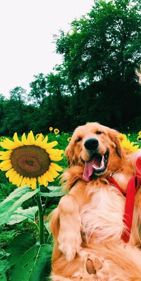 Sunshine Sunflower Dogs Dog Cute Smile Love Cute Animals Cute