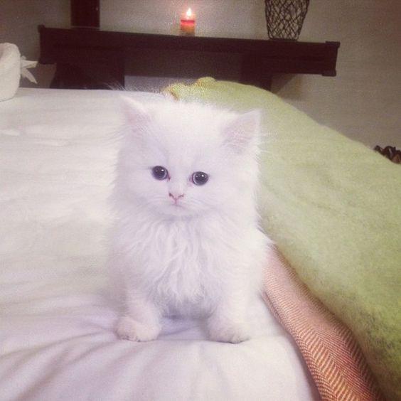 Kim Kardashian's Teacup Persian Mercy...Damn You Kim Kardashian, Now I Want a Teacup Kitten!!!