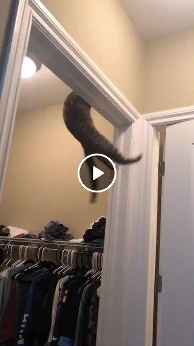 Uall Esse gatinho é um ginasta profissional, incrível suas habilidades