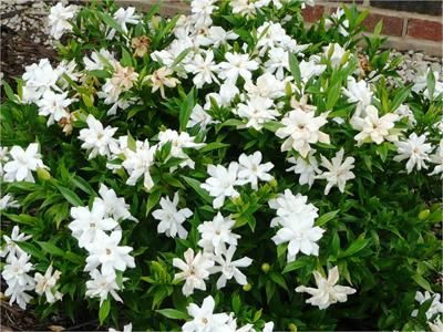 Frostproof Gardenia- Frost Proof gardenia is a great plant for home gardens and deserves more consideration.  A Louisiana Super Plant selection, Frostproof is widely used by landscape professionals. It's an improvement over other, older gardenia varieties. It reaches a mature height of 5 feet with a spread of 4-5 feet.