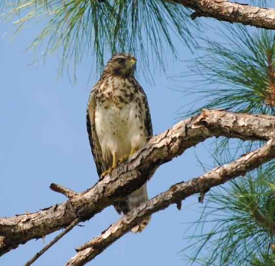 Juvenile red-shouldered hawk at #Myakka River State Park