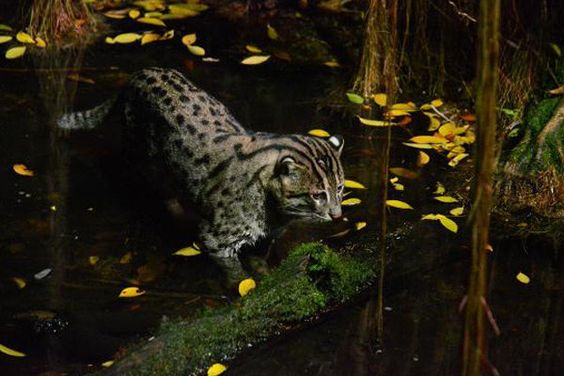 The fishing cat, often spotted during the night safari at the Singapore Zoo
