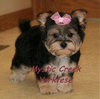 Available Morkie or Yorktese puppies for sale puppy love