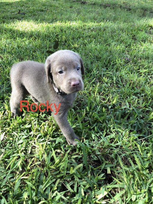 Rocky A Devoted Male Miniature Schnauzer Puppy For Sale From San Diego California Vip Puppies Puppies Labrador Dog Miniature Schnauzer Puppies
