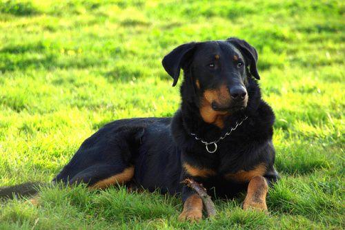 Beauceron. Psy tej rasy przypominają mastifa lub dobermana. Były używane jako psy pasterskie i psy myśliwskie, dziś są to także psy stróżujące, psy pomagające w wojsku i w ratownictwie