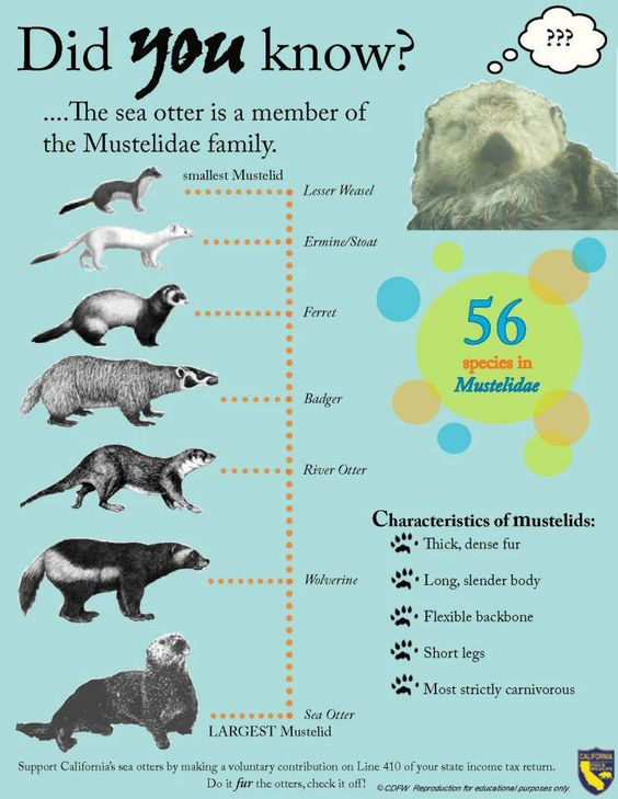 the characteristics and anatomy of sea otters a part of the weasel family The sea otter is the largest species of the weasel family and the smallest marine  mammal  most of the area west of prince william sound is now recolonized   the sea otters distinguishable features include large flipper like hind limbs,   repertoire, structure, and individual variation of vocalizations in the sea otter.