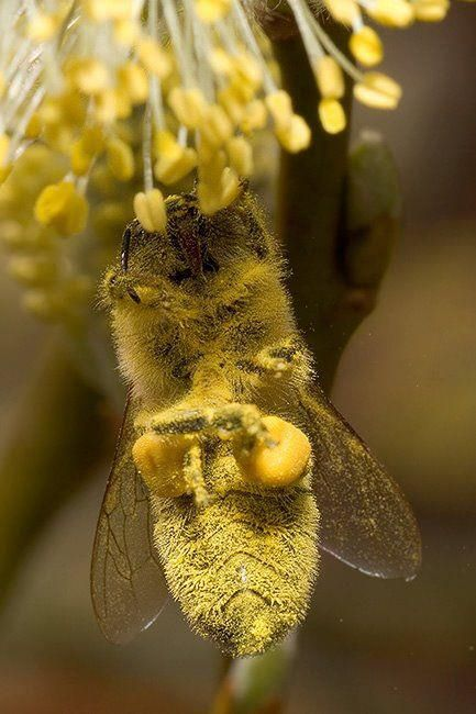 Pollen galore! -  https://www.facebook.com/beekeeping.photo