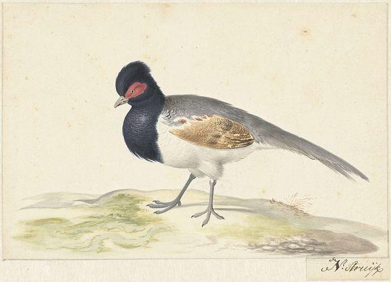 Nicolaas Struyk | Vogel met grijze staartveren, zwarte kop met rode vlek, naar links, Nicolaas Struyk, 1699 - 1719 |