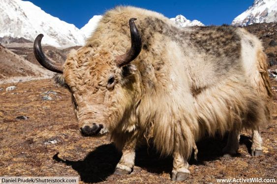 Wild Yak Facts For Kids Adults Discover An Amazing Tundra Animal Animals Animal Faces Yak