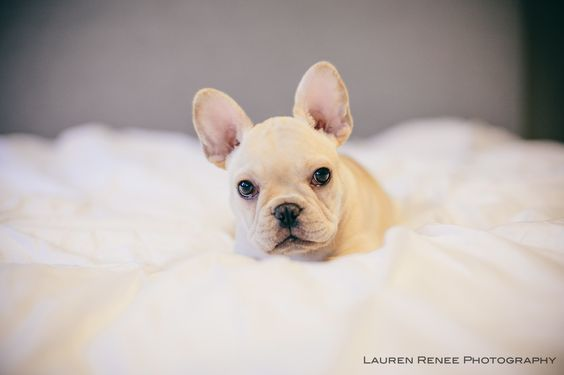 Little Lola Puppy French Bulldog Frenchie The Dogs Of