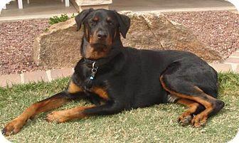 Gilbert, AZ - Rottweiler. Meet Marley, a dog for adoption. http://www.adoptapet.com/pet/13959042-gilbert-arizona-rottweiler