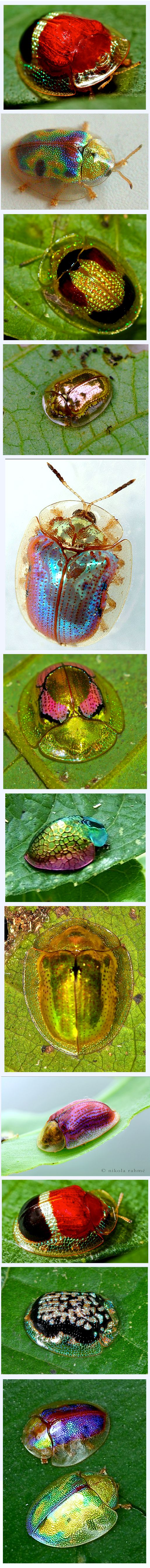 Tortoise Beetles - collage