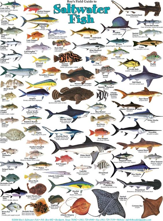Roy 39 s salwater fish and water birds posters travel for Florida saltwater fishing