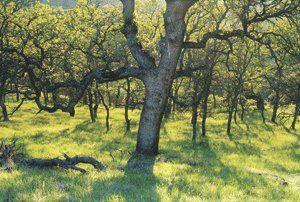 Blue oaks in Diablo Foothills Regional Park. Photo by Bob Walker.