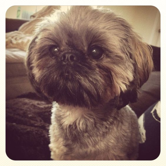 what does a shih tzu dog look like my family owns a shih tzu and she somewhat looks like 9904