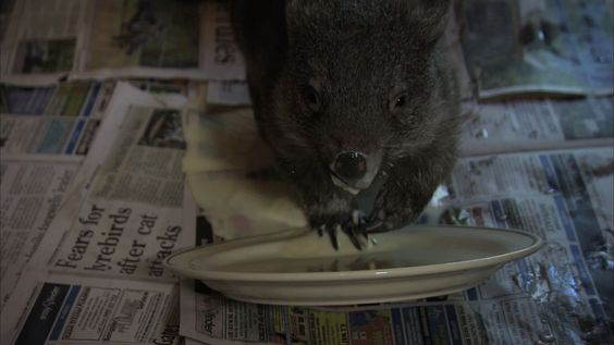 Wombat spills her milk - Nature's Miracle Orphans: Episode 2 - BBC One