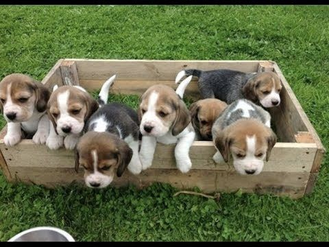 Funny And Cute Beagle Puppies Compilation 1 Cutest Beagle Puppy Youtube Beagle Puppy Cute Beagles Beagle Dog