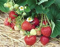 strawberry care