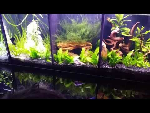 Divided betta tank male fighting fish display youtube for Fighting fish tank