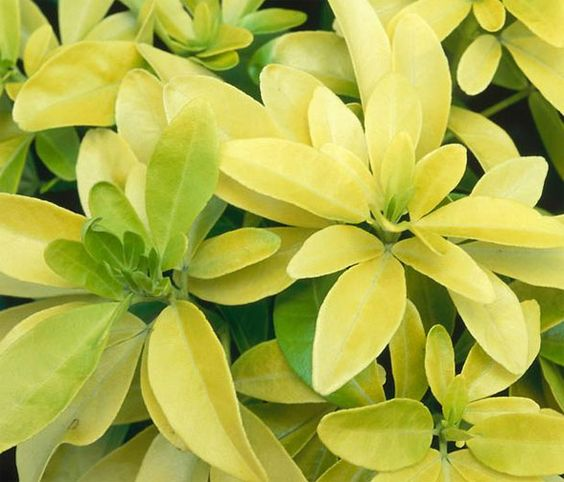 Plant of the Day: Mexican Orange Blossom