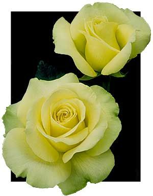 'St. Patrick' hybrid tea is great for hot climates. Mild fragrance, large yellow blooms with hints of pale green. Zones 7 and higher.: