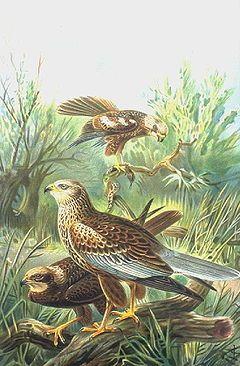 Tartaranhão-ruivo-dos-pauis