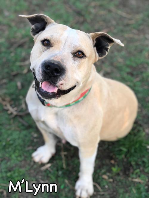 Adopt M Lynn On Pitbull Terrier Animal Rescue Pet Adoption