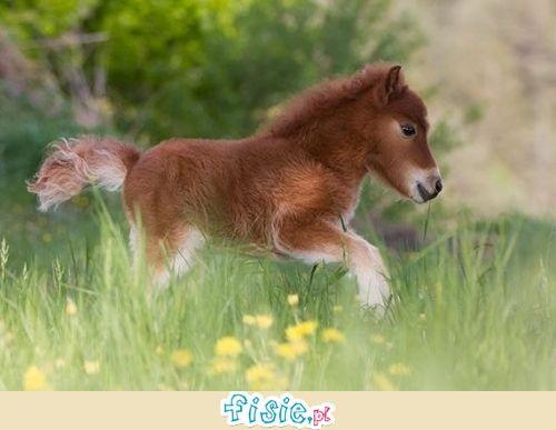 Miniaturowe konie