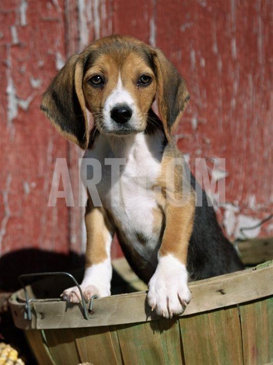 Beagle Dog Puppyby Lynn M Stone Beagle Puppy Beagle Dog