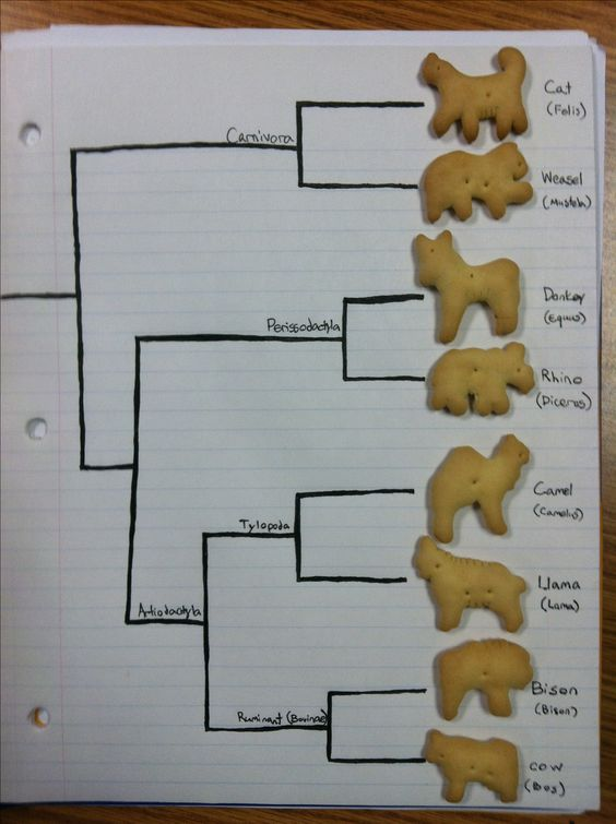 Animal Cracker Phylogeny [TEKS 7.11A] - Engagement Activity: