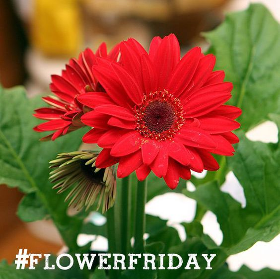 #FlowerFriday from May 15, 2015 - The Gerbera Daisy!