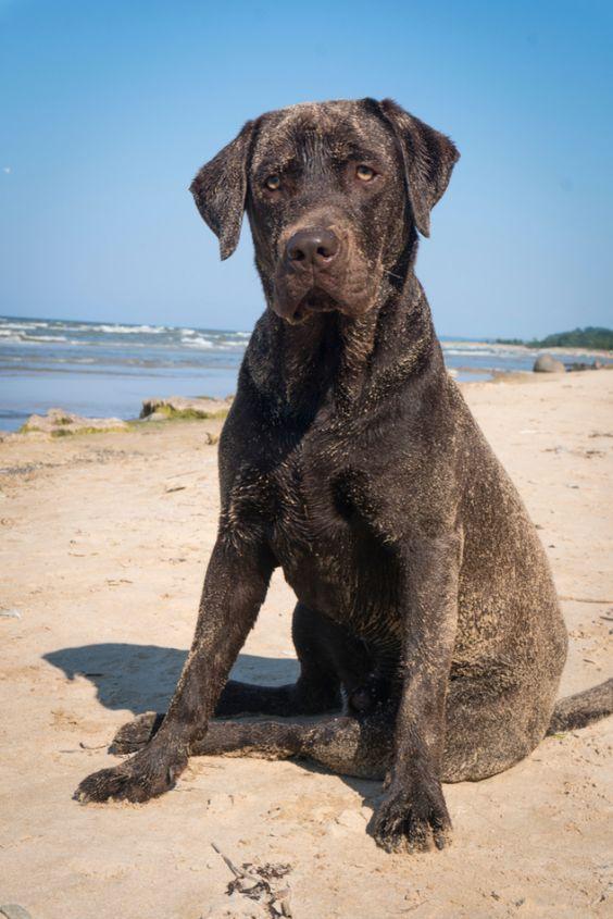 Chocolate Labrador Retriever In 2020 Labrador Retriever Golden Retriever Labrador Labrador Retriever Facts