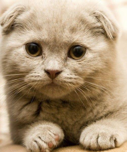 Such a cute Scottish Fold Kitty