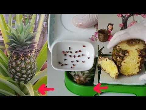 زراعة الاناناس من البذور في قناتنا كل شيء جديد ومبهر Youtube Pineapple Fruit Food