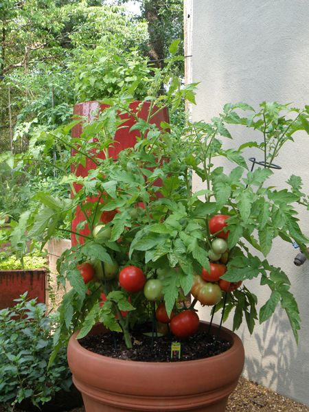 better bush tomato plant in container tomatoes and other vegies pinterest gardens home. Black Bedroom Furniture Sets. Home Design Ideas