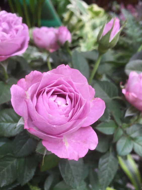 { Pinke Blumen }