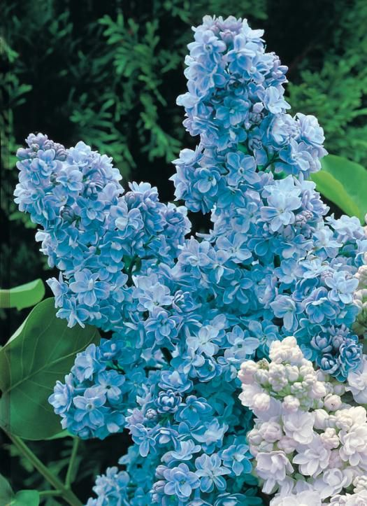 Photo Lilas double bleu