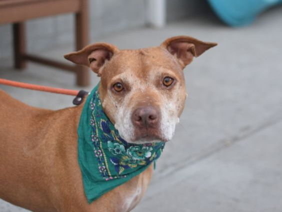 09/08/2016 SUPER URGENT ADOPT PETITE SENIOR RUBIE TO BE DESTROYED TODAY 09/08/2016 AT 8PM - A1086851 Brooklyn NYC - EX-PET, loyal, shy, does tricks, housetrained in shelter, medium activity level, please share to save her life.
