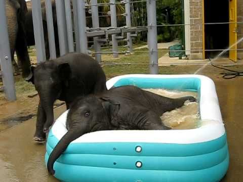 Baby elephants playing in a kiddie pool. I want!