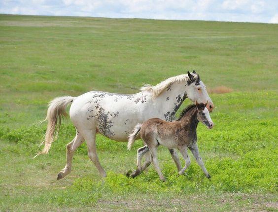 Cayuse indian pony